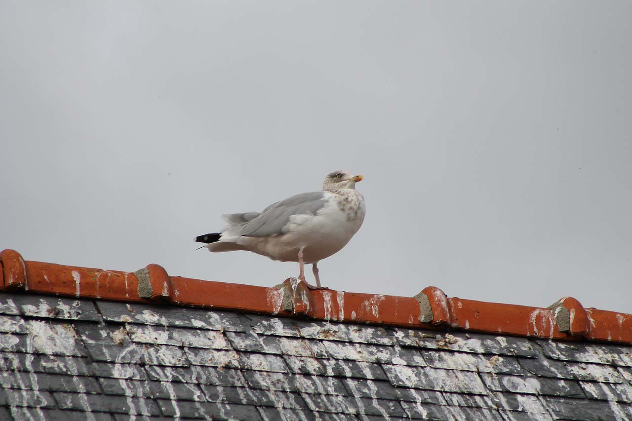 Birds nesting on your roof