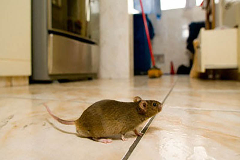Pest Control Rodents and Mice