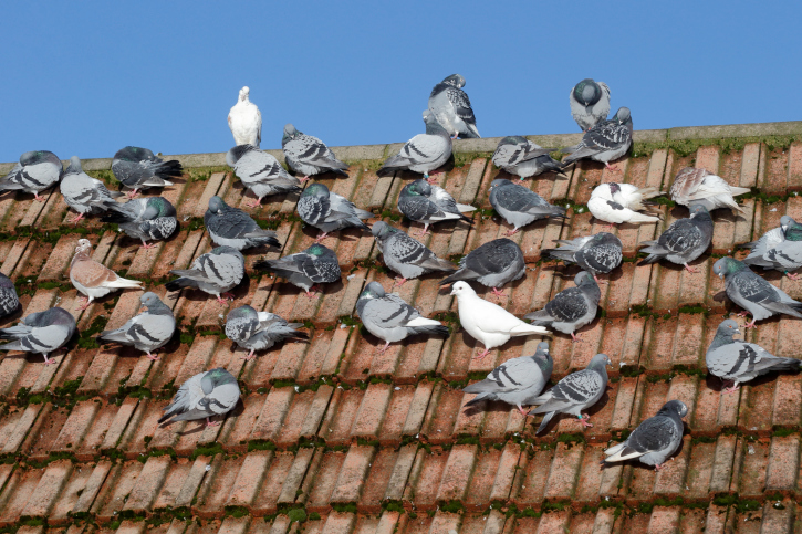 Professional and Local ways to Stop Birds Nesting Under Roof Tiles