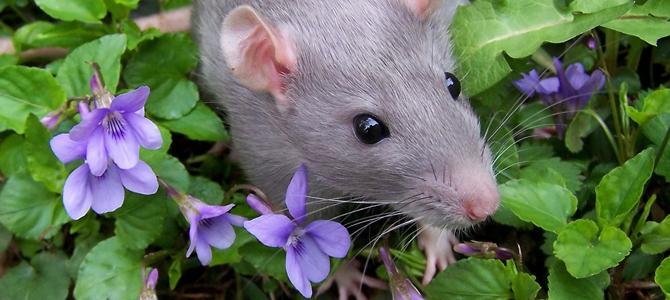 rodent control birmingham uk