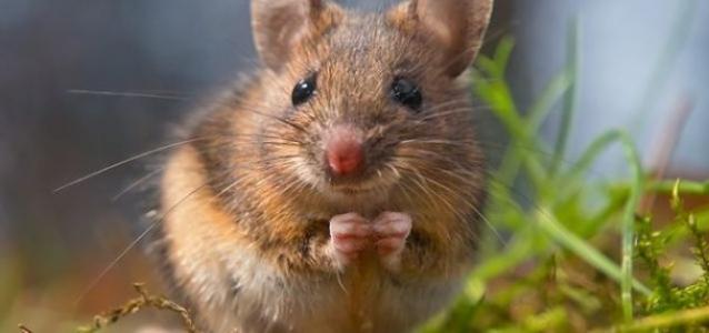 rodent control birmingham